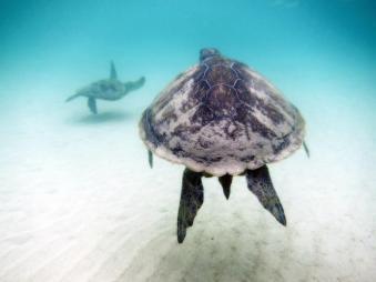 Green Sea Turtles on the Great Barrier Reef, Australia