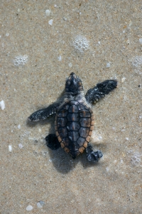 A Loggerhead hatchling makes its way out to the open ocean