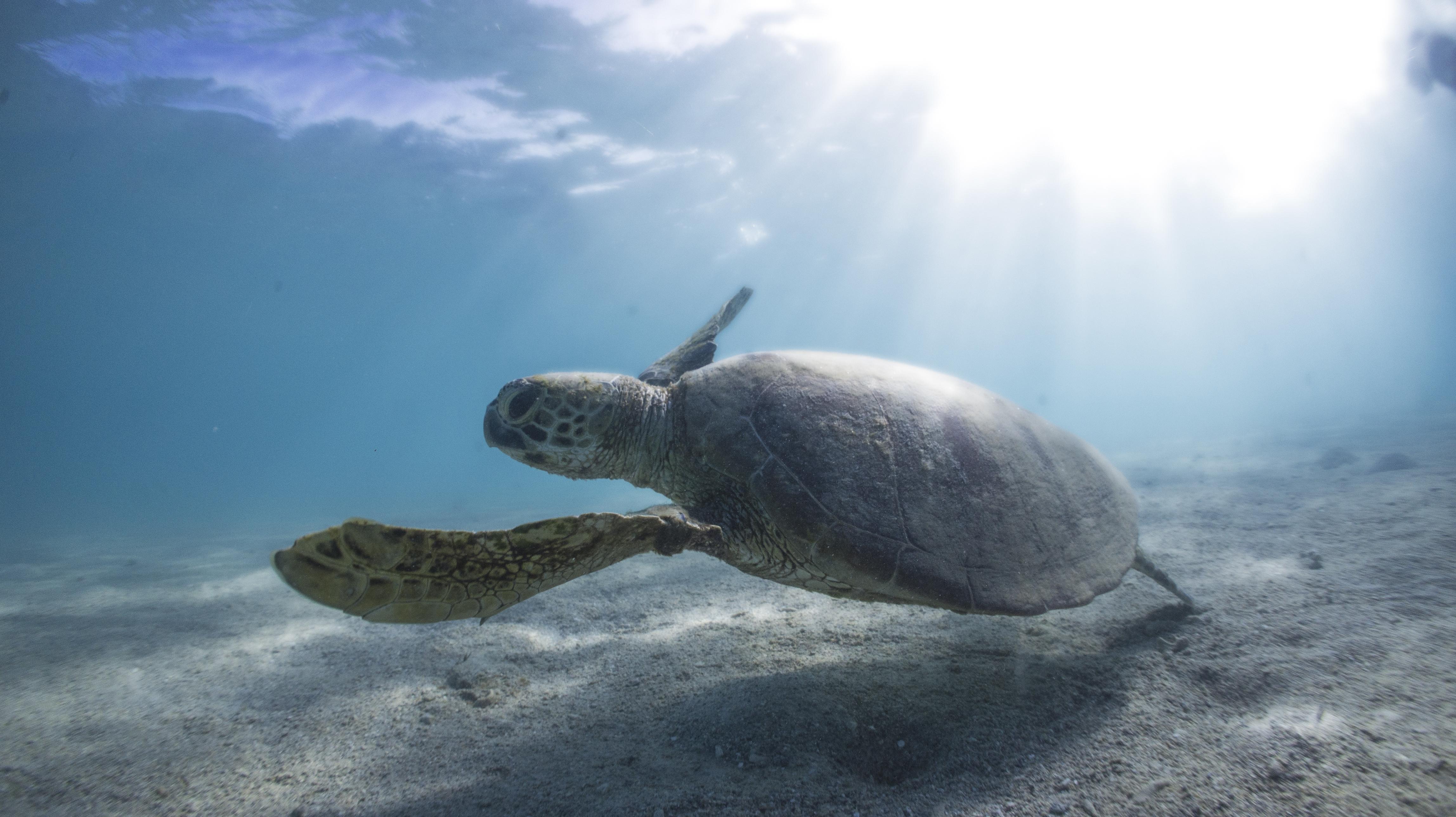 Green sea turtle in the Great Barrier Reef, Australia