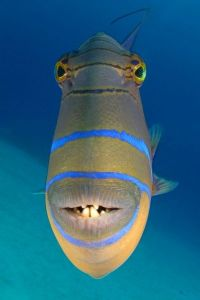 Keep an eye out for the Picasso and Titan trigger fish on your Australian dive adventure!