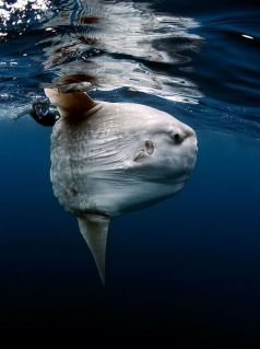 A Mola Mola swimming close to the surface of the ocean