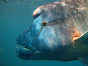Male humphead Wrasse can be distinguished by their turquoise and green colouring, striking pattern and big lips.