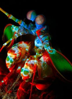 Mantis shrimp by James Van Den Broek via Flickr