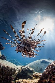 Lion fish by Paul Cowell