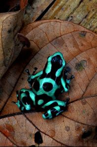 The Poison Dart Frog is as pretty as it is deadly. Image by Paul Bratescu