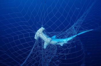 A hammerhead shark entangled in a shark net