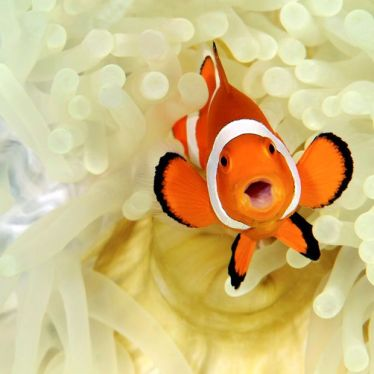 A clown fish hides in an anemone. Image by Steve De Neef.