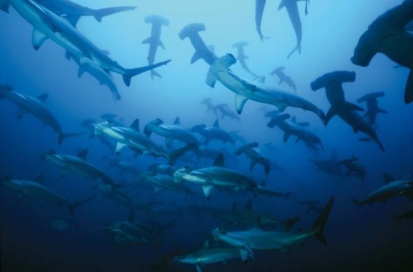 school of hammerhead sharks from below