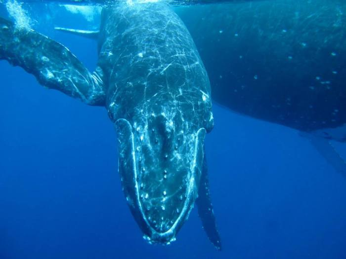 A humpback whale calf comes in a little closer to inspect my camera lens.