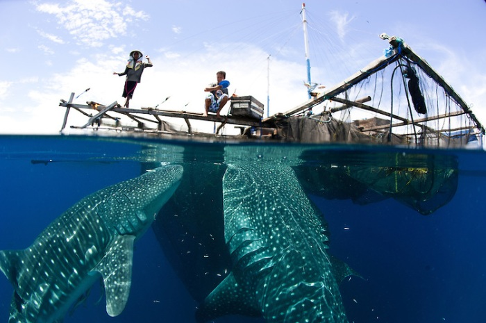 Whale sharks (Rhincodon typus) gather under fishing platforms to feed from fishermens nets. Source: unknown
