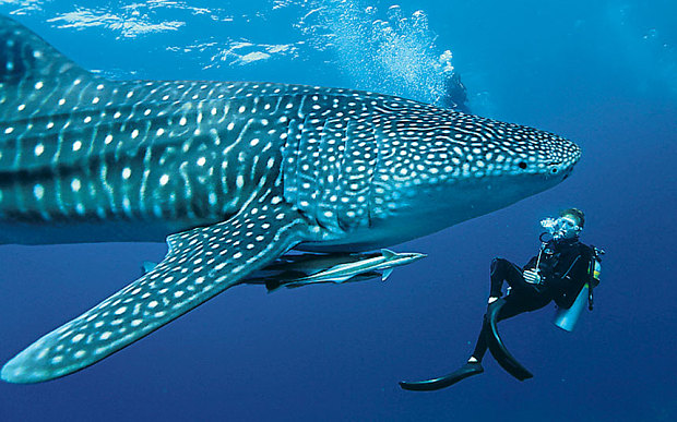 woman diver and whale shark in the ocean