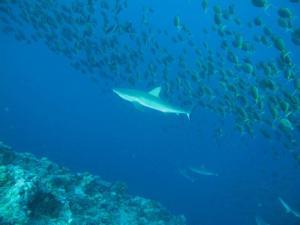 Reef Sharks Palau