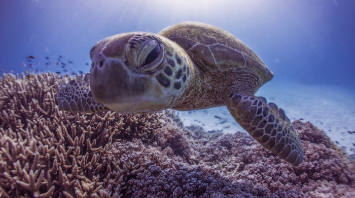 turtle on great barrier reef close up to camera surrounded by coral
