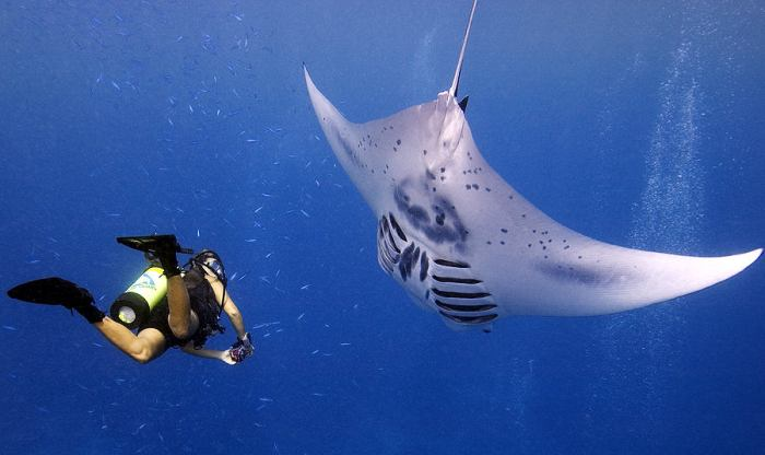 manta and diver side by side in open water