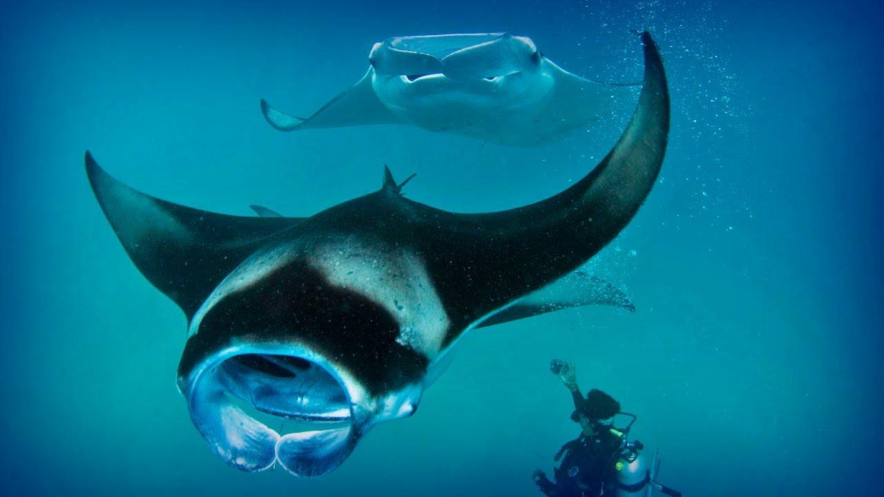 three manta rays in the maldives circle a scuba diver