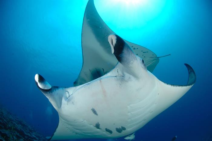 Manta rays gliding over one another