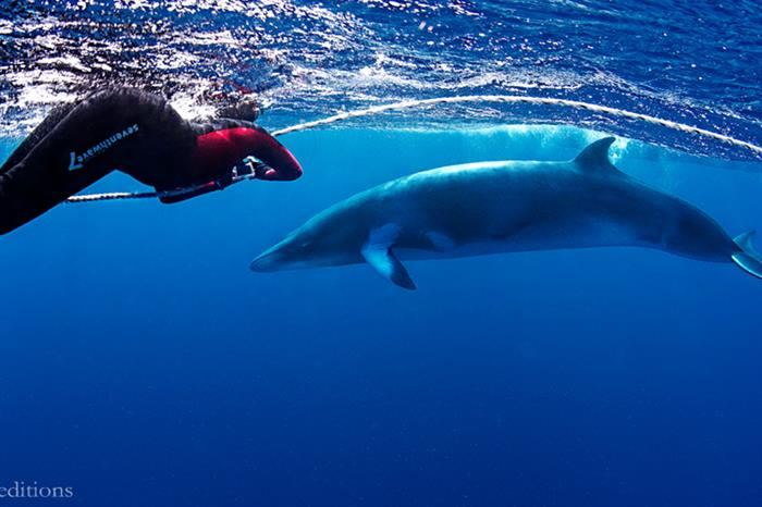 dwarf minke whale and snorkeller on the great barrier reef