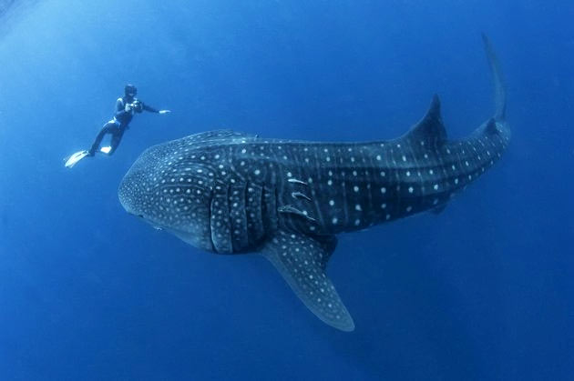 whale shark and diver by Ray Auxillou