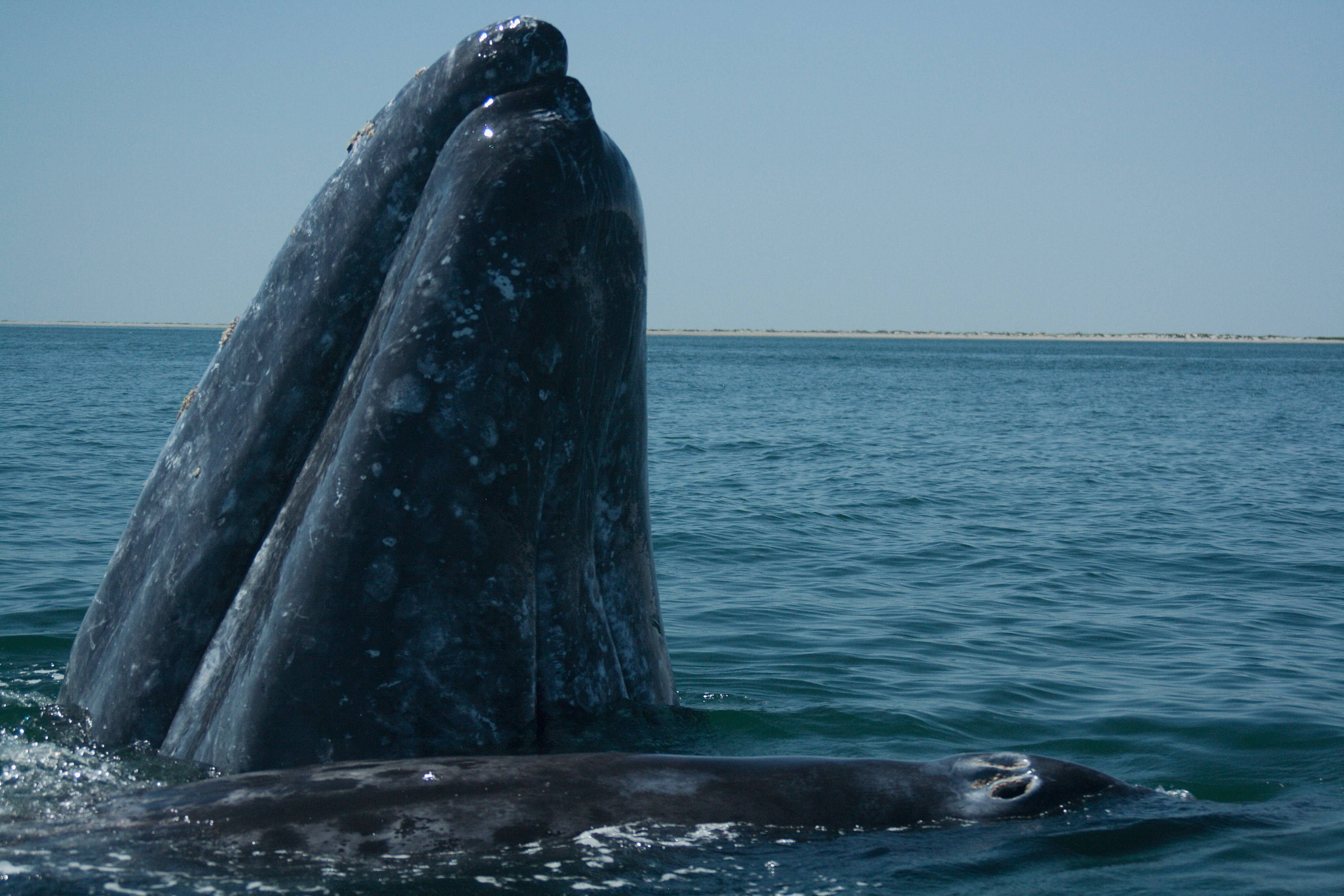 Grey whale partially above surface