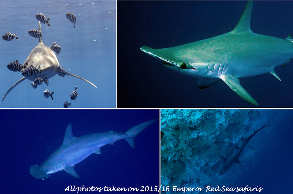 Southern Sharks Egypt